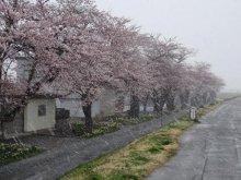 【4月11日】桜と雪の共演!【桜の開花状況】:画像
