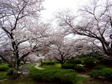 つつじ公園の桜が見頃です!:画像