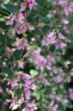 【萩の花が見頃です】:画像