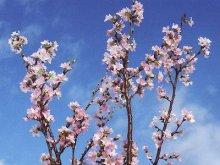 """【一足早い春を・・・""""啓翁桜""""】:画像"""
