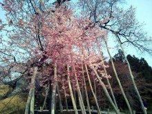久保桜:画像