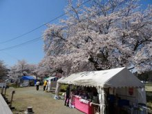 '16長井市内の桜開花情報(4月20日):画像