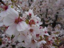 '16長井市内の桜開花情報(4月21日):画像