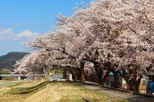 '17桜の季節がやってきました(4月3日):画像