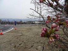 '17長井市内の桜の開花情報(4月17日):画像