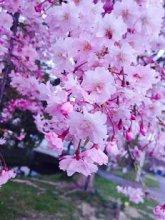 '17長井市内の桜の開花情報(4月26日):画像