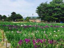 '17あやめ公園開花情報(6月20日):画像