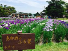 '17あやめ公園開花情報(6月27日):画像
