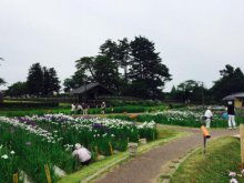 '17あやめ公園開花情報(6月28日):画像