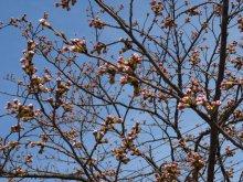 '18 長井市内の桜開花情報(4月6日):画像