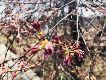 '18長井市内の桜開花情報(4月10日):画像