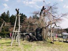 '18長井市内の桜開花情報(4月12日):画像