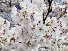 '18長井市内の桜開花情報(4月13日):画像