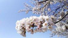 '18 長井市内の桜開花情報(4月16日):画像