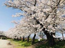 '18 長井市内の桜開花情報(4月19日):画像