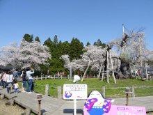 '18 長井市内の桜開花情報(4月21日):画像