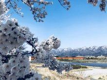 '19長井市内の桜開花情報(4月11日):画像
