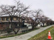 '19長井市内の桜開花情報(4月12日):画像