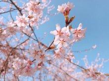 '19長井市内の桜開花情報(4月18日):画像