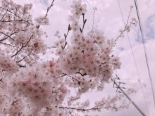 '19長井市内の桜開花情報(4月19日):画像