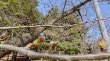 '21 長井市内の桜開花情報(4月1日):画像
