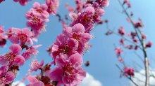 '21 長井市内の桜開花情報(4月3日):画像
