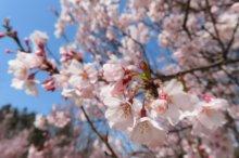 '21 長井市内の桜開花情報(4月8日):画像