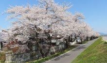 '21 長井市内の桜開花情報(4月12日):画像