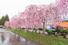 '21 長井市内の桜開花情報(4月14日):画像