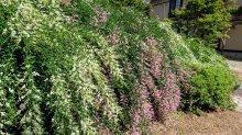 '21 はぎ公園の開花状況(9月10日):画像