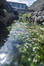 【梅花藻】8月10日 開花情報:画像