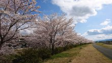 4月14日 今日が満開です。桜づつみの全景(二枚組):画像