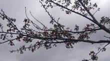 最上川桜堤開花情報(その3):画像