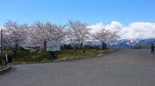 最上川桜堤開花情報(最終です):画像