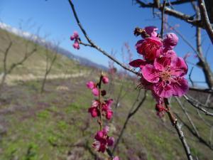 ☆市内の桜の様子☆:画像