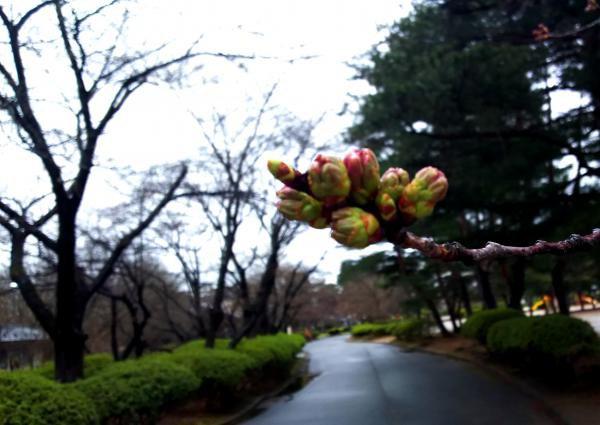 今年の桜はいつもと違います!:画像
