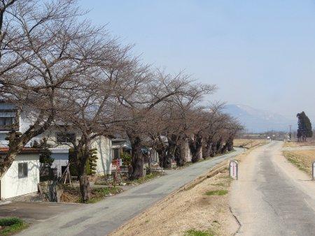 '14最上川堤防千本桜情報(4月2日):画像