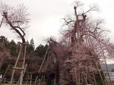 '13伊佐沢の久保桜開花情報(4月26日):画像