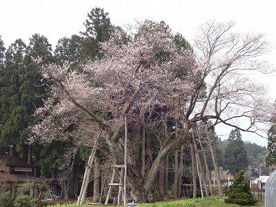'13草岡の大明神桜開花情報(4月30日):画像