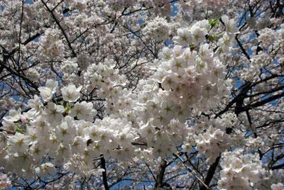 ☆ふらりの桜、満開です♪:画像