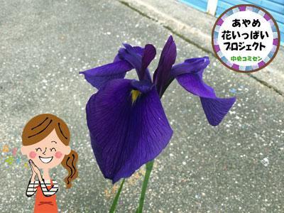☆花の便りが続々と!〜あやめ花いっぱいプロジェクト:画像
