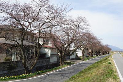 【桜並木】:画像