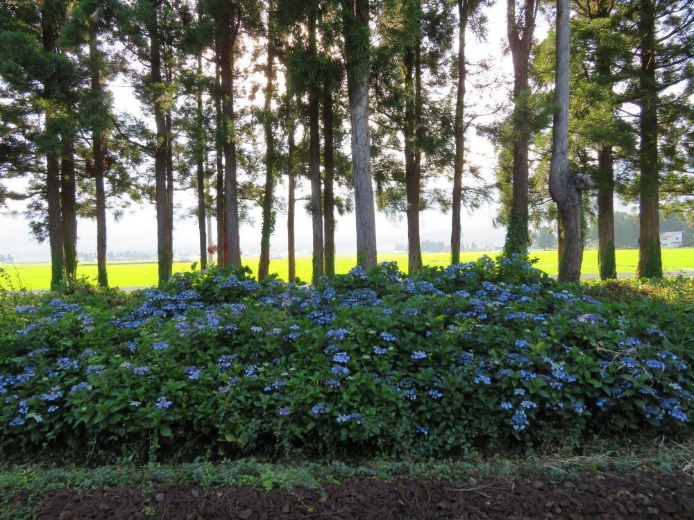 名残の紫陽花:画像