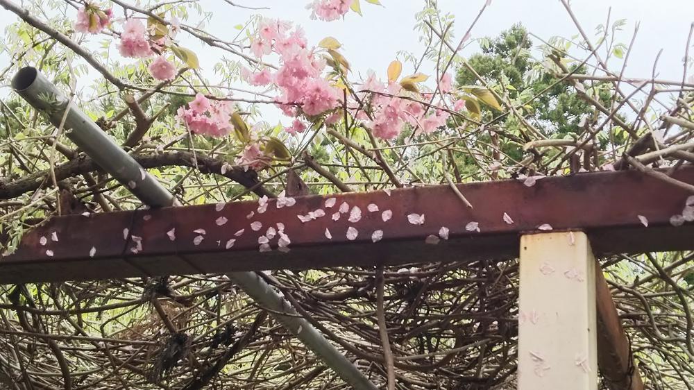 桜花にヒョウも:画像