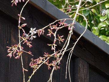 '17長井市内の桜の開花情報(4月14日):画像