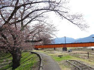 '17長井市内の桜の開花情報(4月20日):画像