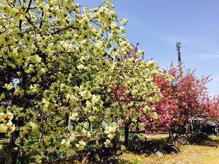 長井市内の御衣黄桜が見頃を迎えております!:画像