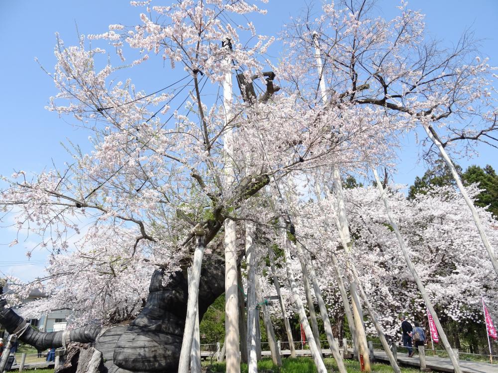 '18 長井市内の桜開花情報(4月20日):画像