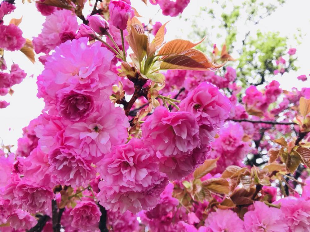 市内では八重桜が綺麗に咲いております!:画像