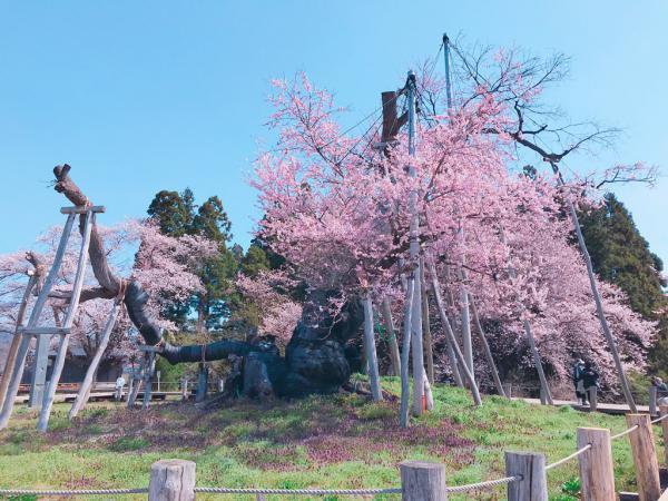 '19長井市内の桜開花情報(4月22日):画像